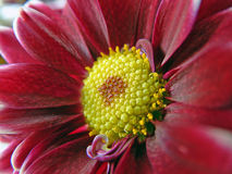Dark Red Gerbera Daisy Royalty Free Stock Image