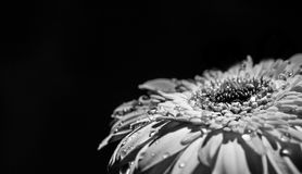 Gerbera daisy Stock Photography
