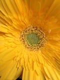 Gerbera Daisy. Close-up of Yellow Gerber Daisy Stock Image