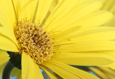 Gerbera Daisy Closeup Imagenes de archivo