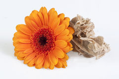Gerbera daisy and desert rose Royalty Free Stock Photography