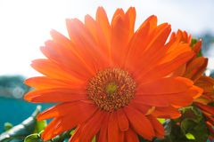 Gerbera Daisy Flower Images stock