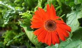 Gerbera daisy flower. Blooms in a garden Stock Image