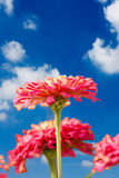 Gerbera daisy  flower Stock Images