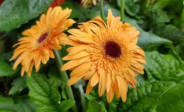 Blooming bright and cheerful gerbera daisy flower. Gerbera daisy flower are commonly grown for their bright and cheerful daisy-like flowers. They originate from royalty free stock photo