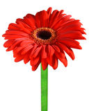 Gerbera, Daisy flower. A detailed photo of a Gerbera, Daisy flower. It is isolated on white background Stock Image
