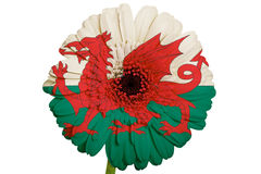 Gerbera daisy flower in flag of wales. Gerbera daisy flower in colors national flag of wales on white background as concept and symbol of love, beauty, innocence Stock Images