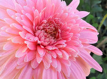 Gerbera daisy flower Royalty Free Stock Images