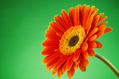 Gerbera daisy flower isolated over green background. Stock Photography