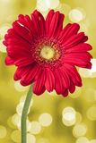 Gerbera Daisy Flower Magic Bokeh Fotografía de archivo