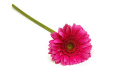 Gerbera daisy flower Royalty Free Stock Photography