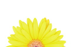Gerbera Daisy flower Royalty Free Stock Photos