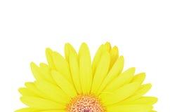 Gerbera Daisy flower Royalty Free Stock Photos