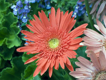Gerbera Daisy in Flowerbox. A bright and cheery Gerber daisy in a coral pink color surrounded by other flowers Royalty Free Stock Photography