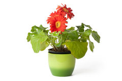Gerbera daisy in  flowerpot Stock Images