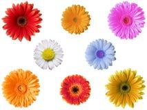 Gerbera Daisy Flowers Stock Photography