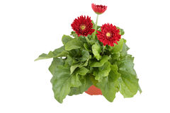 Gerbera. Daisy flowers bouquet on white background Stock Photography