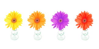 Gerbera Daisy flowers Stock Photography