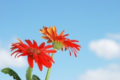 Gerbera daisy flowers with sky Stock Photos