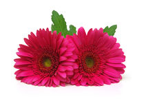 Gerbera daisy flowers Stock Photos