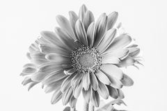 Gerbera daisy in full bloom, black and white fine art Stock Photo