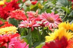 Gerbera daisy garden Stock Images