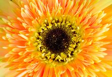 Gerbera daisy Royalty Free Stock Images