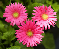 Gerbera Daisy. Hot Pink Flowers Stock Images