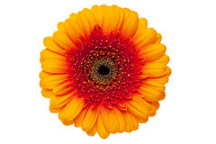 Gerbera daisy include exact clipping path. Isolated against white background Royalty Free Stock Photos