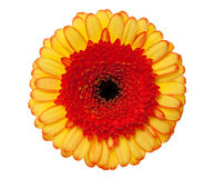 Gerbera daisy include exact clipping path. Isolated against white background Stock Photography