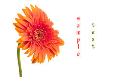 Gerbera daisy orange Royalty Free Stock Photos