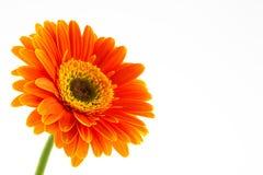 Gerbera Daisy. Orange Daisy Gerbera Flower on white Stock Photos