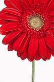 Gerbera Daisy. A part of Gerbera Daisy on a white background royalty free stock images