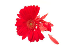 Gerbera Daisy and Petal Background. A red gerbera daisy with its petals falling off at the background royalty free stock photos
