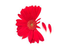 Gerbera Daisy and Petals. Petals falling off from a red gerbera daisy royalty free stock images