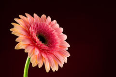 Gerbera Daisy. Pink gerber on the black background Royalty Free Stock Image