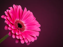 Gerbera Daisy. A pink gerbera daisy on a pink background royalty free stock photography