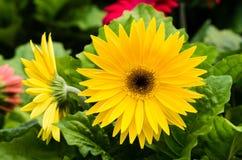 Gerbera daisy plant in bloom Stock Image
