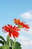 Gerbera daisy plant and flowers with sky Royalty Free Stock Images