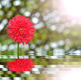 Gerbera Daisy after rain with water Royalty Free Stock Photography