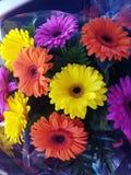 Gerbera daisy rainbow Stock Image