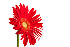 Gerbera Daisy Red Stock Photography