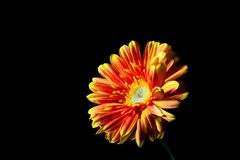 Gerbera daisy in red-orange colors. Gerbera daisy in red-orange colors glowing vividly on black background stock photos