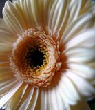 Gerbera daisy showing petals and male stamen. royalty free stock image