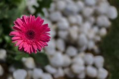 Gerbera Daisy Showing up - with white pebbles blurred background. Daisy flower orange / zinnia on a green lawn blurred background. Gerbera Daisy. Pebbles and royalty free stock images