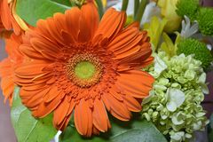 Gerbera Daisy from South America and Africa stock images