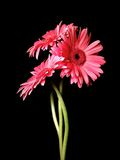 Gerbera Daisy Trio Portrait 1. Three top quality Gerbera daisies with long wavy stems, warm pink color and big, bold booms. Real flowers, high resolution digital royalty free stock photography