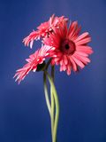 Gerbera Daisy Trio Portrait 2. Three top quality Gerbera daisies with long wavy stems, warm pink color and big, bold booms. Real flowers, high resolution digital stock photo