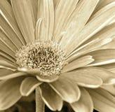 Gerbera Daisy Up Close - Sepia imagens de stock