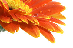 Gerbera daisy with a water drops. Isolated with Path Stock Photography